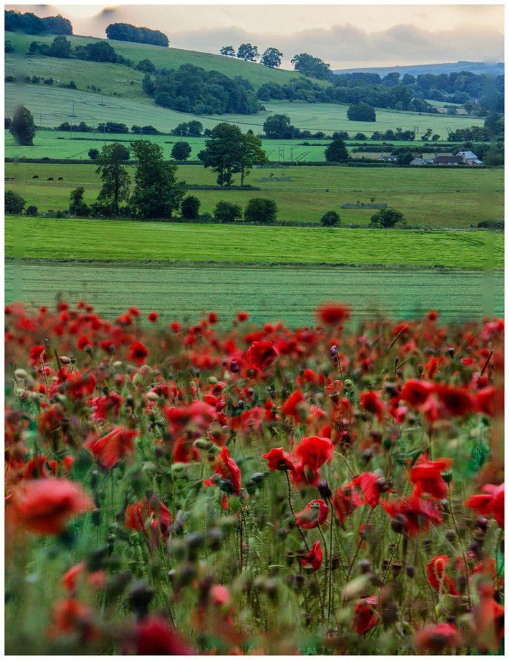 Windy poppy field in Wiltshire, England by keety uk