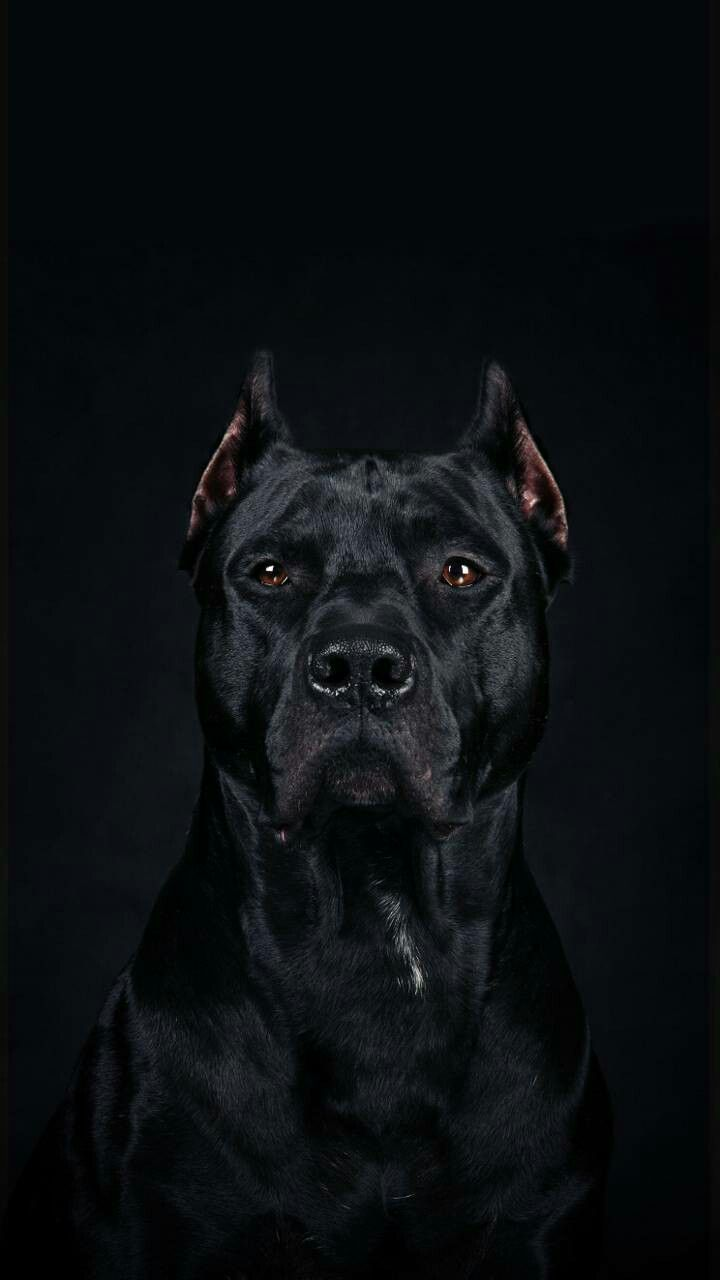 Beautiful Pitbull Wallpaper, Dog Wallpaper Iphone, Animal Wallpaper,