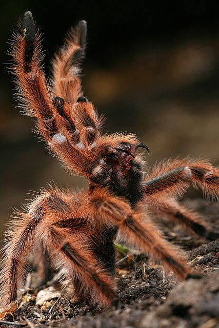 Rose Hair Tarantula, Grammostola rosea (Araneae - Theraphosidae), native to Northern Chile, Bolivia, and Argentina. It is a medium sized tarantula with up to 15 cm in leg span, which gets its name from the red/pink hairs covering a fairly dully colored body. Several color forms exist, which were originally thought to be different species,...