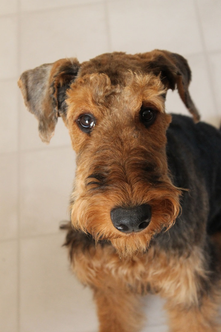 133 best Airedale Terrier images on Pinterest  Airedale terrier, Welsh terrier and Dogs
