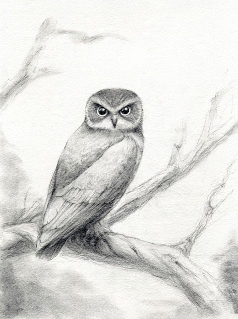 Study of a Boobook owl  by Tina Burke