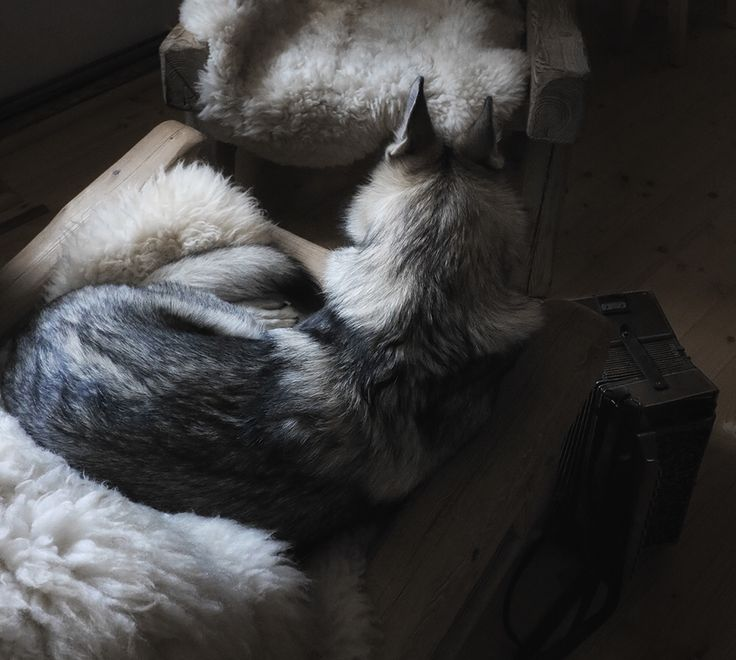 Maya fell in love with morning fairytales. She's waiting for me to hear another one. Simple wolfdog moments in our cabin, Sumava, Czech Republic. @travelwithmaya