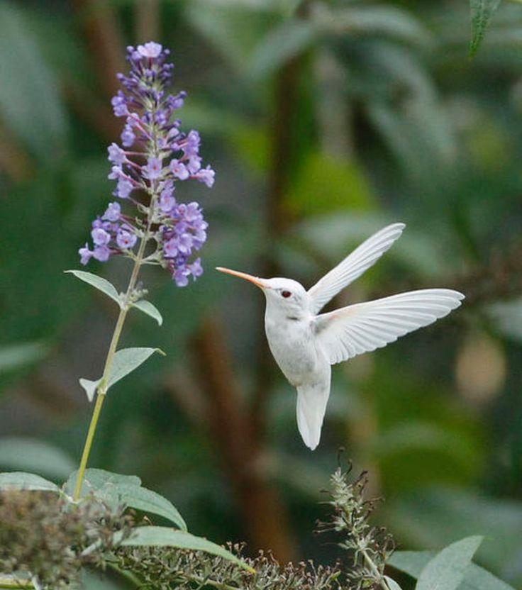 Classic Woodie Albino animals, Ruby throated hummingbird