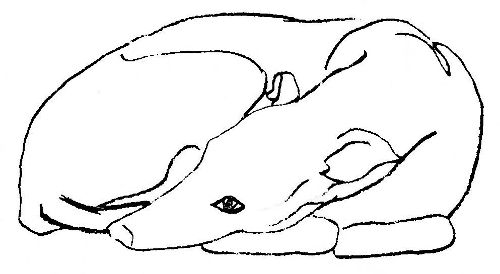 greyhound curled up sketch