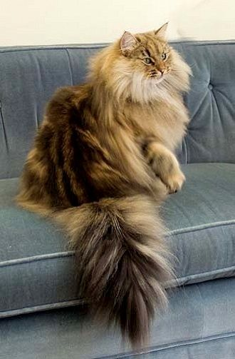 Norwegian Forest Cat in what must be full winter coat. I would not like the job of brushing this kitty.