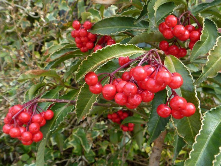 1月5日の誕生日の木は、サクラソウ科ヤブコウジ属の常緑小低木「マンリョウ(万両)」です。冬に付ける光沢のある赤い果実と緑色のコントラストが美しく、縁起の良い名前を持つ樹木のひとつとされ、センリョウ科センリョウ属の「センリョウ(千両)」などともにお正月の縁起物として親しまれています。 名前の由来は、赤い果実をたわわに下げた姿がセンリョウよりも豪華であるとしてマンリョウの名が付けられ、江戸時代中期ころ定着したといわれています。 尚、「○両」の名前を持つ縁起木は、一両=アカネ科アリドオシ属のアリドオシ、十両=ヤブコウジ科ヤブコウジ属のヤブコウジ、百両=ヤブコウジ科ヤブコウジ属のカラタチバナがあります。