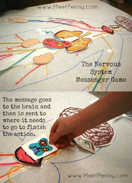 Nervous system lesson ideas with printable game for @apologiaworld anatomy and physiology. #anatomy #physiology #nervoussystem