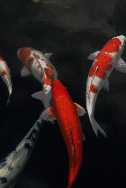 Koi/Japanese carps.