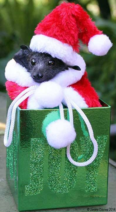 Baby FLying Fox bat wishing you a Merry Christmas