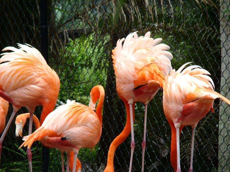 Fluffy butts Flamingo Gardens, Davie FL (With images