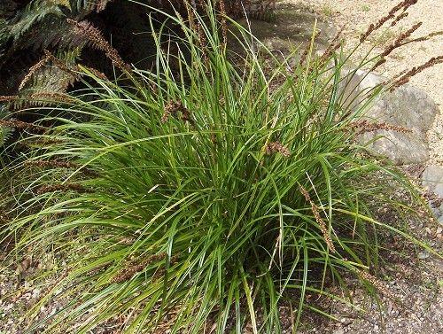 Carex solandri - Forest sedge/ Solander's sedge