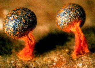 Physarum psittacinum - a species of mycetozoan slime mold  Slime