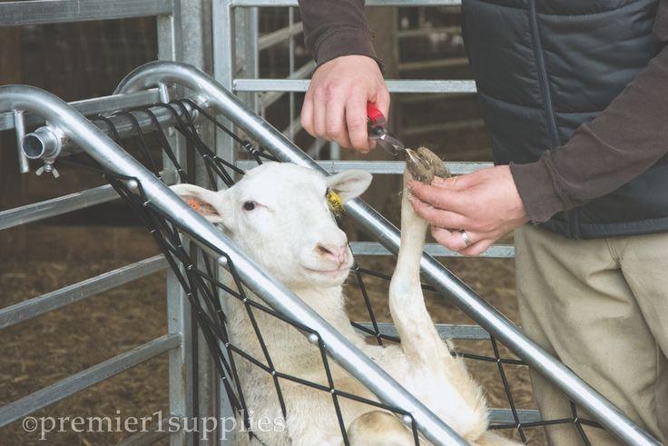 Deck Chair for Sheep Keçi yavruları, Evcil hayvan bakımı