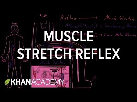Muscle stretch reflex | Nervous system introduction | Human anatomy and physiology | Health and medicine | Khan Academy
