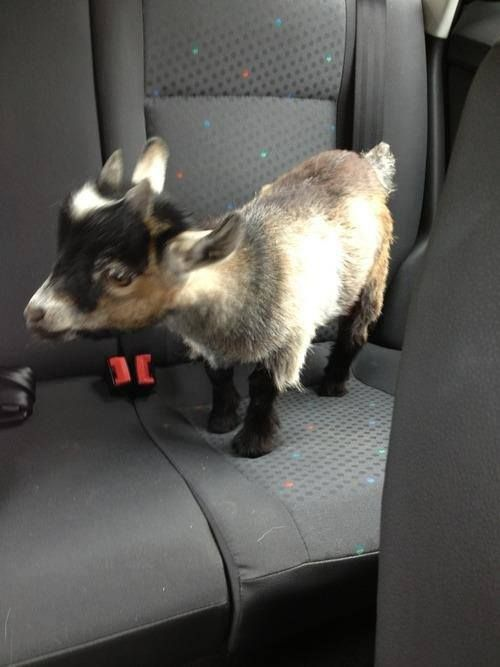 Daily squee Super cute baby goat