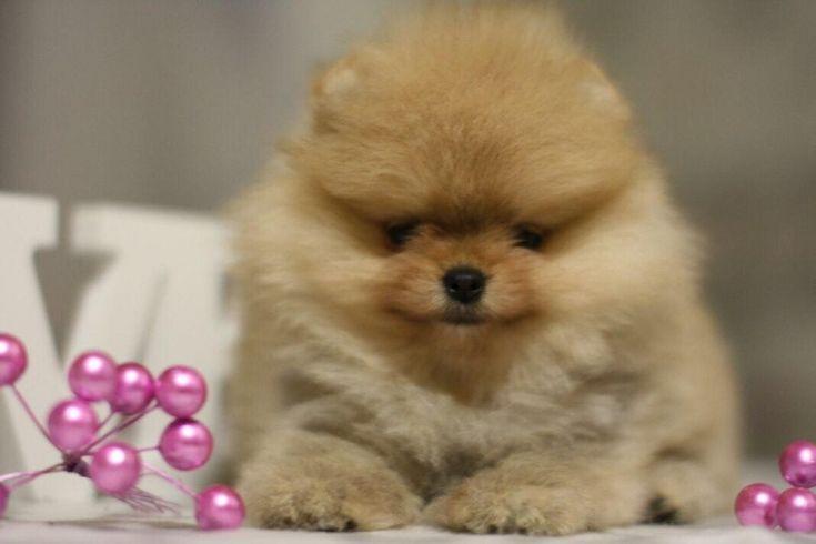 2-3 Aylik Teddybear Teacup Pomeranian Boo yavrulari   #2-3 #Aylik #Teddybear #Teacup #Pomeranian #Boo #yavrulari # #köpek #kopekseverler #köpeksahiplendirme #kopekyavrusu #evcilhayvan #evcilhayvanurunleri #satilikkopekler #satilikkopekyavrulari #sahiplendirmeilani #sahiplendirme #kopeksahiplendirme #hayvansahiplendirme #ücretlisahiplendirme #sahiplendirmeilani #hayvansahiplendirmeplatformu #köpekkıyafeti  #Pomeranianboo