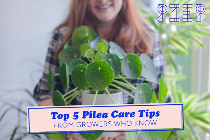 Top 5 Pilea Care Tips – Pilea peperomioides Love!