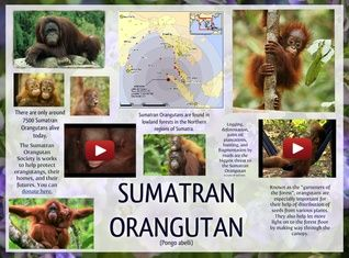 The Sumatran orangutan is one of the two species of orangutans. Found only on the island of Sumatra in Indonesia, it is rarer than the Bornean orangutan. #glogster #glogpedia #sumatranorangutan