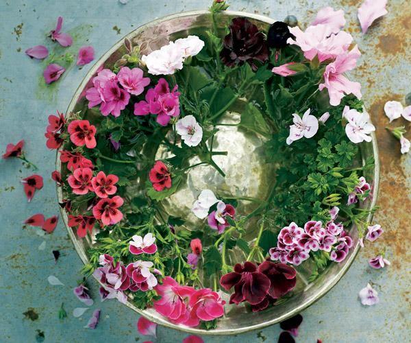 Jalopelargonit, Pelargonium x domesticum. Jalopelargoneja kutsutaan myös englantilaisiksi pelargoneiksi. Ylhäältä myötäpäivään: ´Springfield Black´, ´Lovely Rita´, ´Kiss & Tell´, ´Tip Top´, Lord Bute', 'Rogers Delight´, ´Captain Starlight´ ja ´Voodoo´. | Tunne pelargonit | Koti ja keittiö