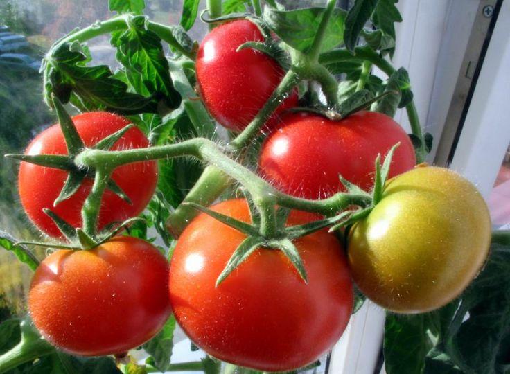 Tomatoes on the windowsill.