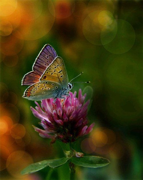 clover: Beautiful Butterflies, Nature, Color, Flutterby, Flower, Animal