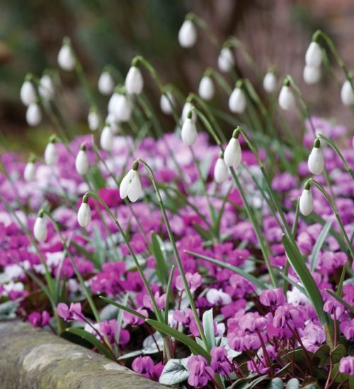 The leaves of Cyclamen coum are almost as handsome and invaluable as the flowers - brilliant for carpeting under shrubs and trees and exceptionally long-lived.