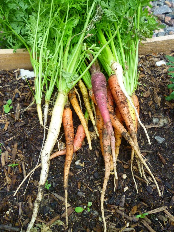 Don't miss out on your chance to grow carrots this year! With this complete guide, you'll learn the basics for how to grow carrots from seed.