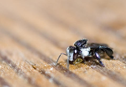 Bee regurgitating outside of hive photo ddwfauna