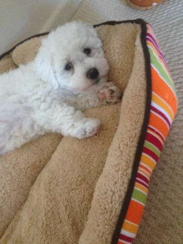 One pure breed Bichon pup for sale. 10 weeks  vaccinated, wormed and microchipped  Both parents have pedigree paper and pup will be sold only as pet!    no time waster plz - https://www.pups4sale.com.au/dog-breed/421/Bichon-Frise.html