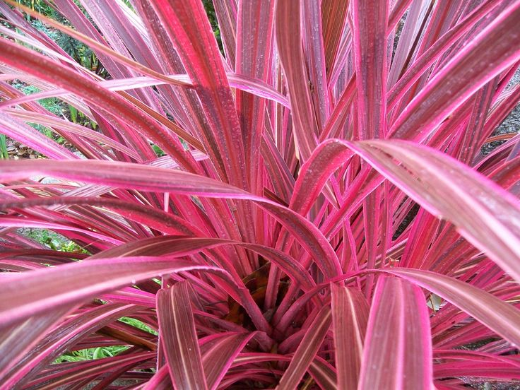 Scientific Name:Cordyline 'Electric Pink'  Common Name:Electric Pink Dracaena Palm, Cordyline  Plant Type:Evergreen  Leaf Type:Broadleaf  Hardiness Zone:8, 9, 10, 11 Determine Your Zone  Height:2- 5 feet  Spread:3 -5 feet  Light Exposure:Sun, Part Sun, Morning sun  Drainage:Moist  Rate of Growth:Moderate  Water Requirement:Medium  Susceptible to insects  and diseases:Yes