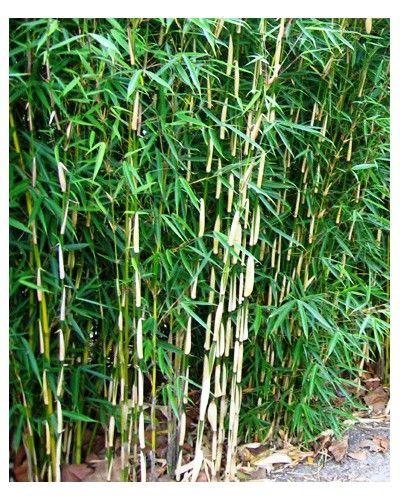 Bambou Fargesia robusta Campbell - vente
