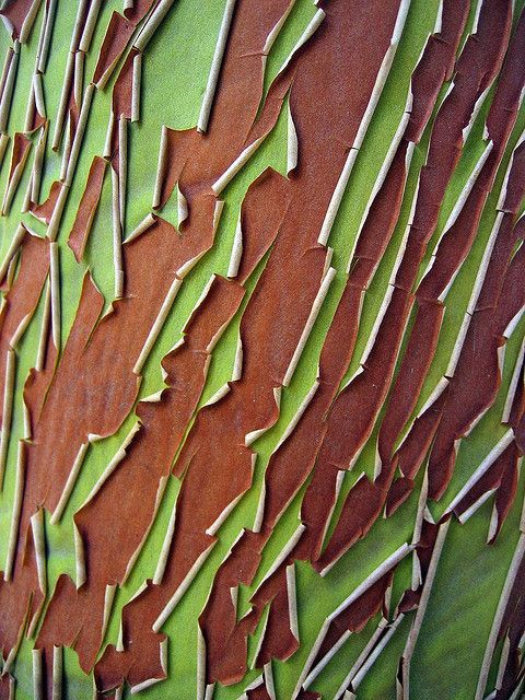 Madrone bark peel by cactusbones, via Flickr