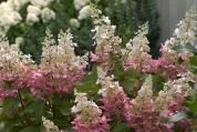 This fast-growing shrub can reach 8 feet high, but Pinky-Winky is probably better known for its blooms. Panicles reaching 16 inches long are covered with flowers that start white before those toward to the base turn dark pink for a sensational two-tone look. Grows up to 6 feet wide. Zones 3-9; Proven Winners