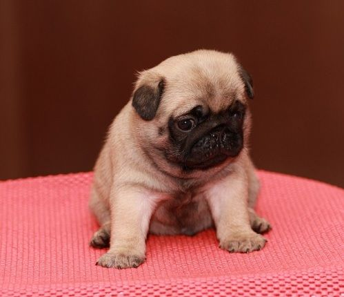 Download Chunky Chubby Adorable Dog - c41cc6122a9cd933409e320d1ba64707--cute-pug-puppies-cute-pugs  Pictures_99891  .jpg