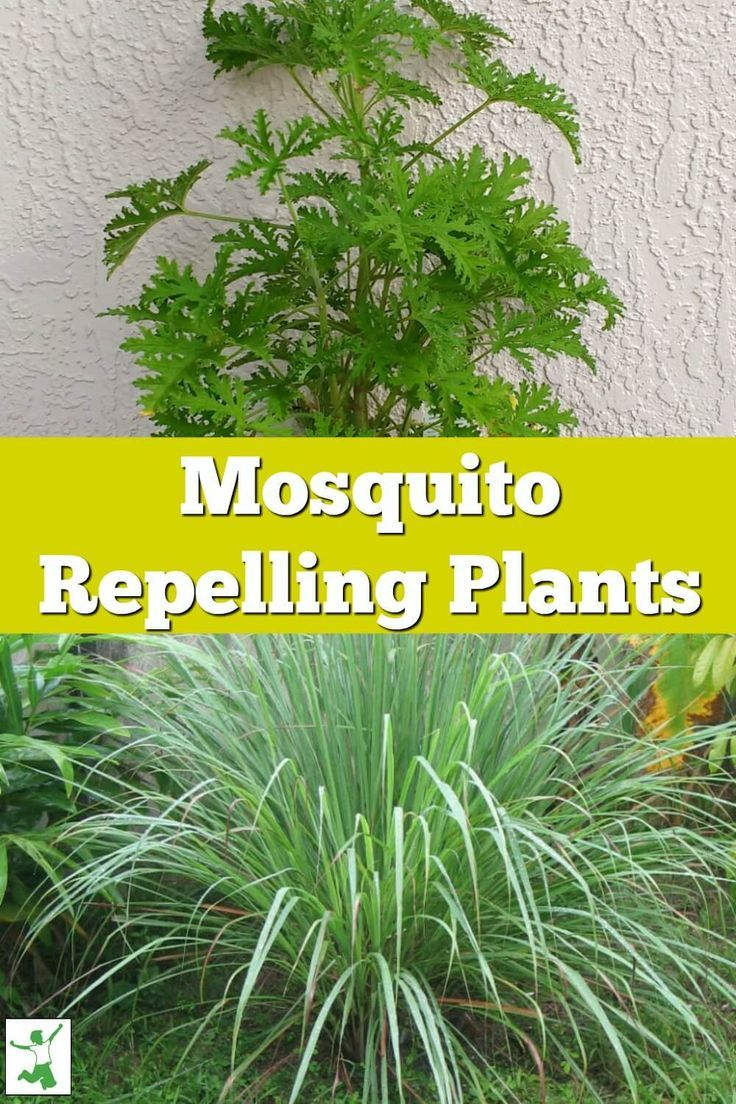 Citronella Effective Insect Repellent Or Consumer Hoax