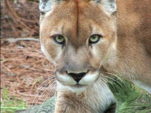 Mountain Lion Species Spotlight  [ VIDEO ] ]