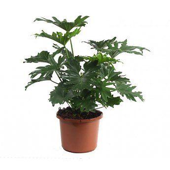Philodendron Stuikvorm Large