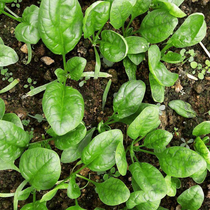 Growing natural gap vietgap young tender babyspinach leaves