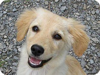 Nanuet, NY Golden Retriever/Sheltie, Shetland Sheepdog