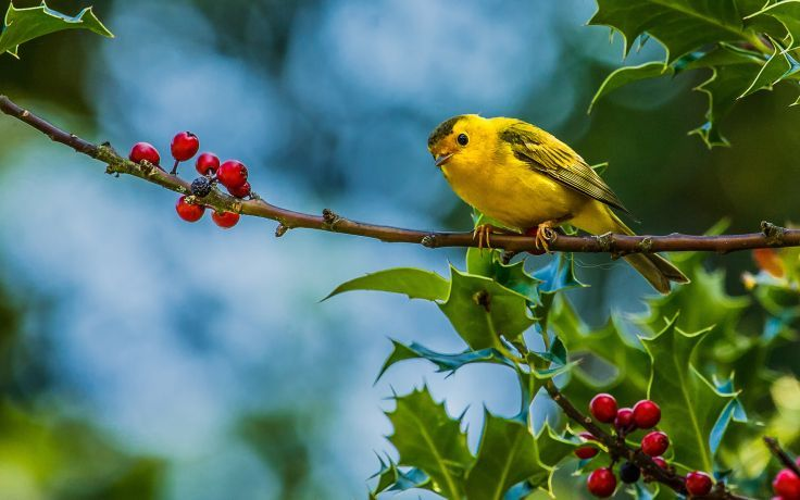 animals birds photography berry leaves nature wildlife trees wallpaper background