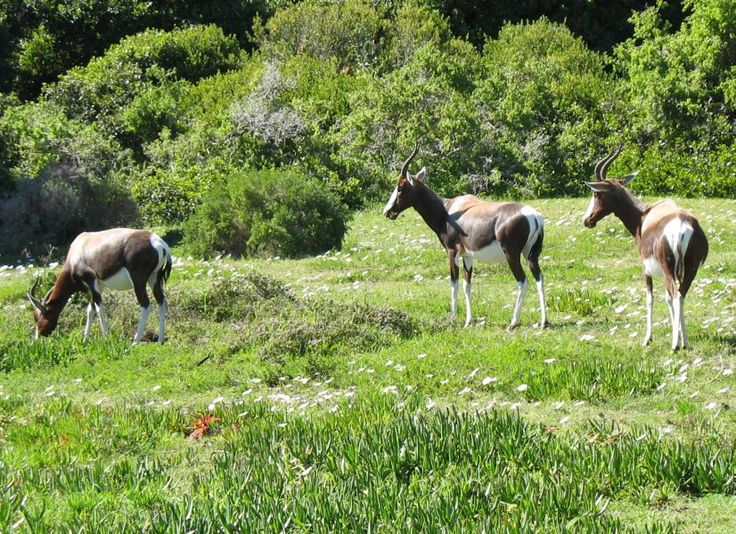 Bontebok in the daisies at Cape Point, Cape Town, South Africa. by Exclusive Getaways