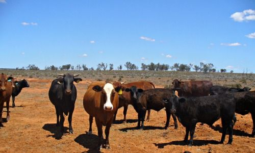 Wyndham Station Outback NSW Cattle We live in the land, on the land and with the land. The way I see it, the better your connection with the land and understanding, the more contentment you will have in your life.