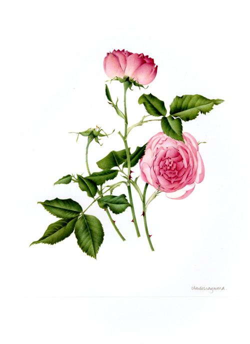 Rosa bourboniana La Reine Victoria [Press Esc to close]