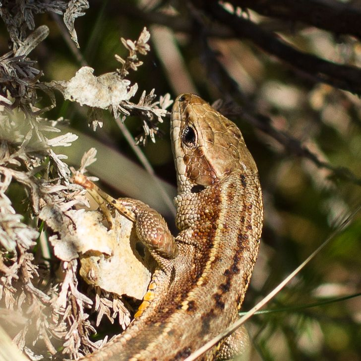 Firfisle / Lizard i skogen.
