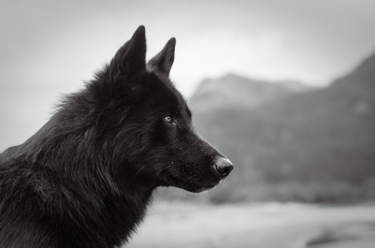 Alaskan Noble Companion Dog: This handsome breed was created primarily by crossing Siberian Husky, German Shepherd, and Alaskan Malamute stock. But some of its desirable traits were acquired by adding Great Pyrenees, Border Collie, Labrador Retriever, and the Greyhound breed to the process. The breeders intent was to create a dog that looks very much like a black Wolf, but with the temperament of mans best friend. I think they succeeded quite nicely.
