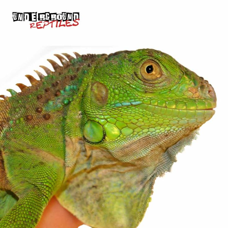 Underground Reptiles Supplies Some Of The Best Iguanas For Sale Including Green