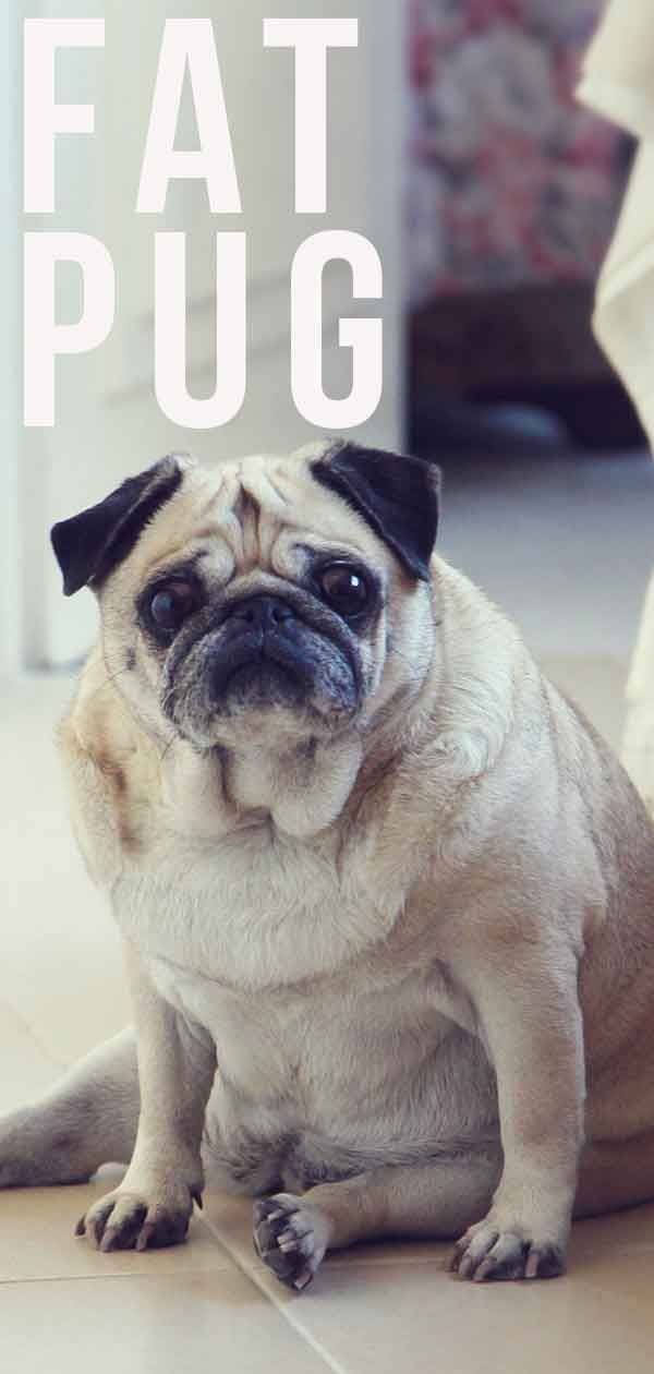 Pin On Pugs And Other Dogs