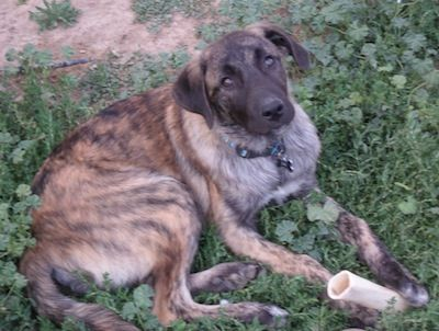 Anatolian Shepherd Dog Information and Pictures Brindle 4mos.