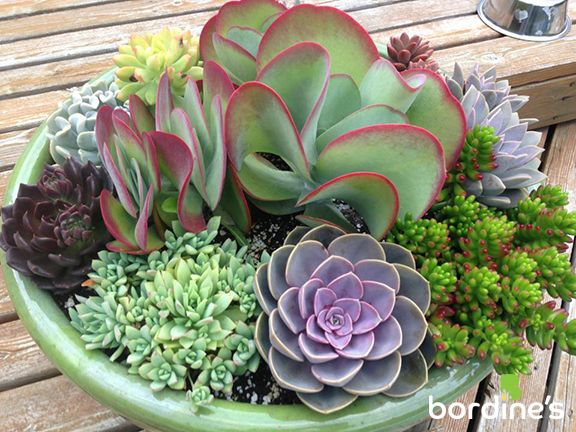 Easy to grow Succulents available at Bordine's! Visit us at www.bordines.com