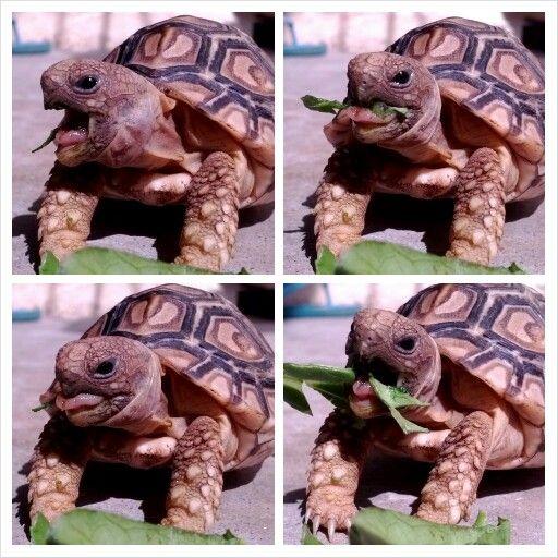 Love watching tortoises eat! So cute